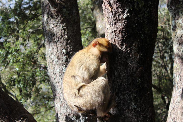 Mono en un árbol en Ifrane, Marruecos